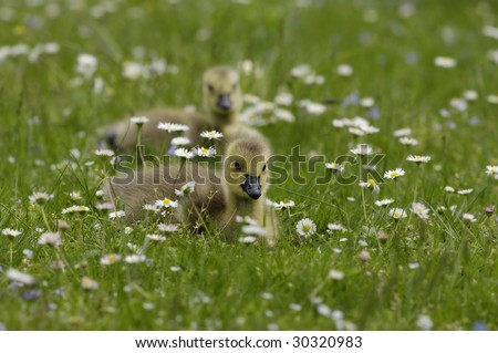 Yellow gosling - stock photo