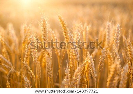Yellow grain at sunset ready for harvest growing in a farm field - stock photo