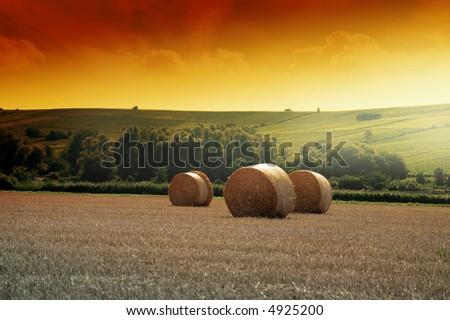 Yellow grain harvested on a farm field - stock photo