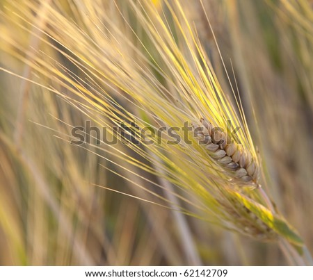 Yellow grain in the field backlit by the rising sun. - stock photo