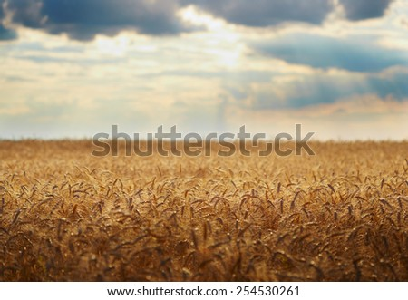 Yellow grain ready for harvest - stock photo
