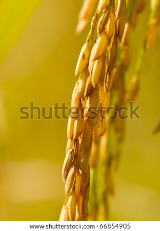 Yellow grain ready for harvesting. - stock photo