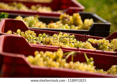 Yellow grapes after harvest in red boxes - stock photo