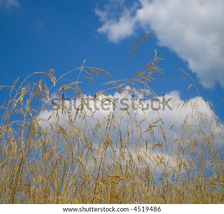 Yellow grass against blue sky - stock photo