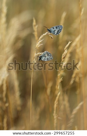 Yellow grass in the sun with butterflies - stock photo