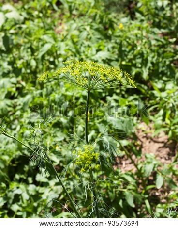yellow-green dill - stock photo