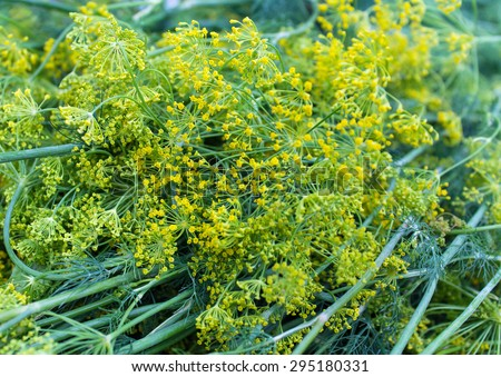 Yellow-green dill closeup bloom. Natural background - stock photo