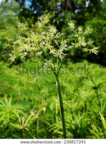 yellow green flower of Thai sedge, papyrus, natural fiber growing in natural wetland can be processed for use as raw materials for many sorts of traditional hand craft work in Thailand and asia. - stock photo