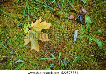 Yellow-green maple leaf lies on the texture background of moss.