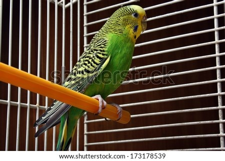 Yellow green wavy parrot sits in a cage  - stock photo