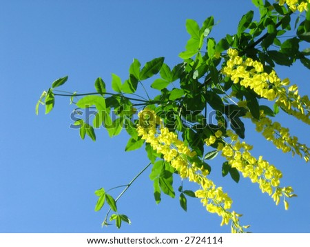 Yellow hanging flowers green leaves on stock photo safe to use yellow hanging flowers and green leaves on blue background mightylinksfo