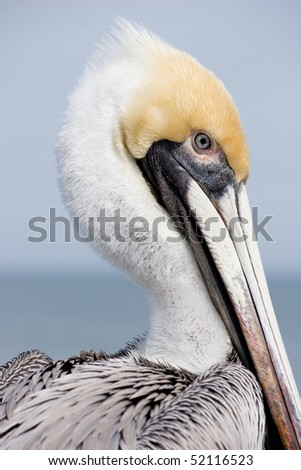 Yellow head pelican at a Beach in Florida - stock photo