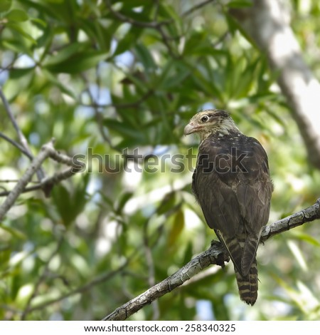 Yellow-headed caracara photographed in the wild in western Panama.