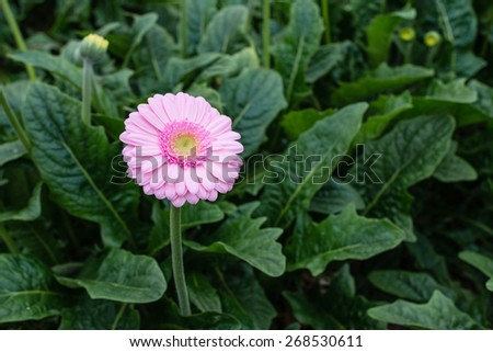 Yellow hearted gerbera bloom with pink petals from close. The picture is taken in a Dutch flower nursery. - stock photo