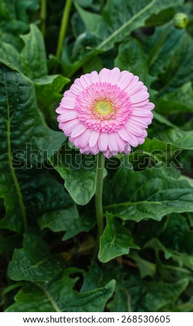 Yellow hearted gerbera bloom with pink petals from close. The picture is taken in a Dutch nursery specialized in the cultivation of Gerbera cut flowers. - stock photo