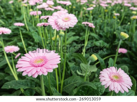 Yellow hearted gerbera blooms with pink petals from close. The picture is taken in a Dutch flower nursery. - stock photo
