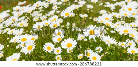 Yellow hearted white flowering ox eye daisy or Leucanthemum vulgare plants in field edge from close on a windy day in the spring season. - stock photo