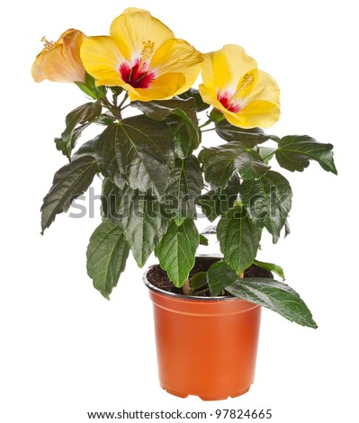 Yellow hibiscus flower  in a flowerpot isolated on white background - stock photo