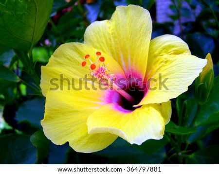 Yellow Hibiscus Flower, La Gomera, Canary Islands - stock photo