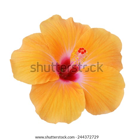 Yellow Hibiscus on white background with path - stock photo