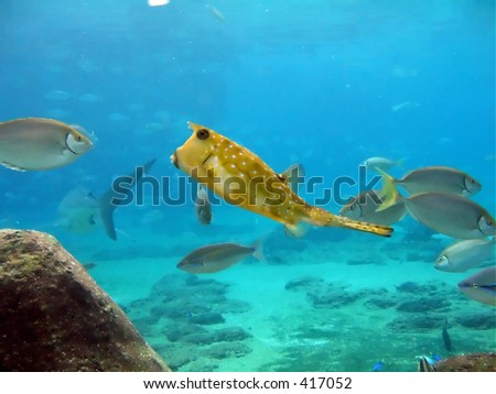 Yellow Horned Boxfish swimming over tropical reef, shark swimming away in background.