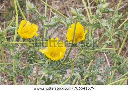Yellow hornpoppy flowers, Glaucium flavum of the family Papaveraceae growing on the beach in Arousa Island