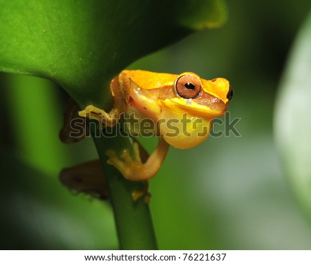 yellow hourglass tree frog on green leaf, mating adult croaking, tarcoles river, jaco , costa rica, central america - stock photo