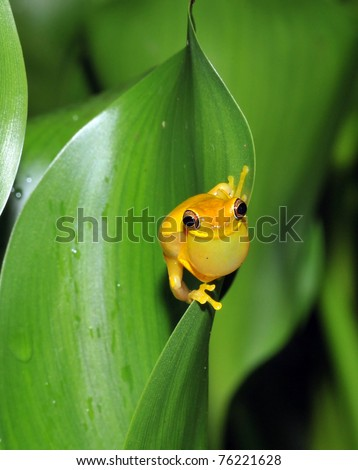 yellow hourglass tree frog on leaf croaking to attract partner , selva verde, costa rica, central america. throat swelling noise to attract female for mating breeding season tropical jungle rainforest - stock photo