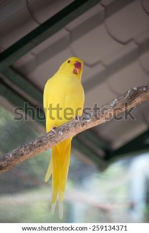 Yellow Indian Ringneck Parrot (Psittacula krameri) - stock photo