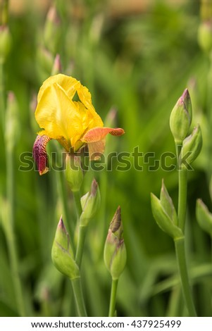 Yellow iris flower blooming on spring close up - stock photo