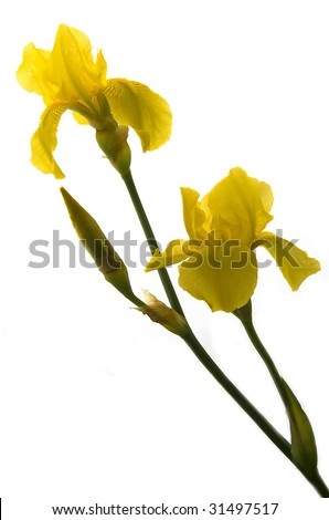 Yellow iris flower isolated on a white background