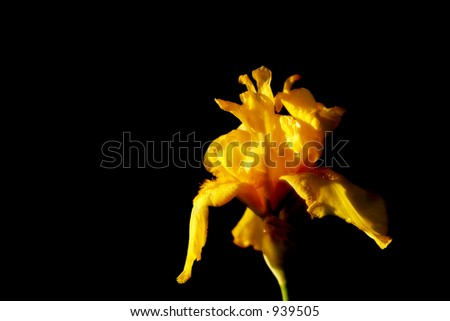 Yellow Iris in moody, sunset light with shadow and black background (shallow focus). - stock photo