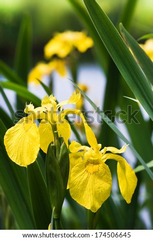 Yellow Iris, Yellow Flag or Iris pseudacorus at the waterside in summer - stock photo