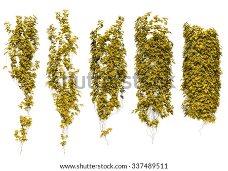 yellow ivy leaves in autumn. Autumn leaves isolated on the white background. - stock photo