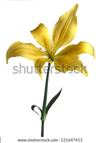 yellow japanese lily isolated - stock photo