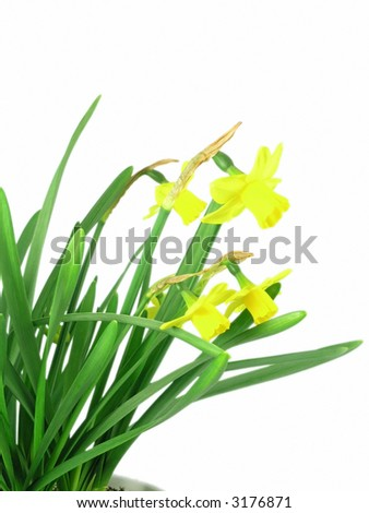 yellow jonquils isolated on blue background