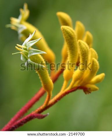 Yellow Kangaroo Paw (Australian Wildflower - Anigozanthos pulcherrimus) - stock photo