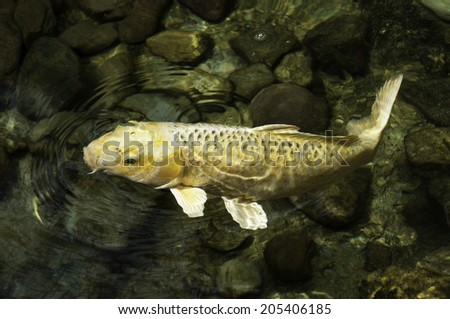 Yellow koi fish swimming in clear greenish water with stones