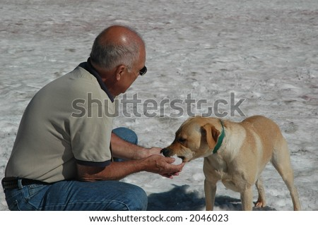 Yellow lab eating snow - stock photo