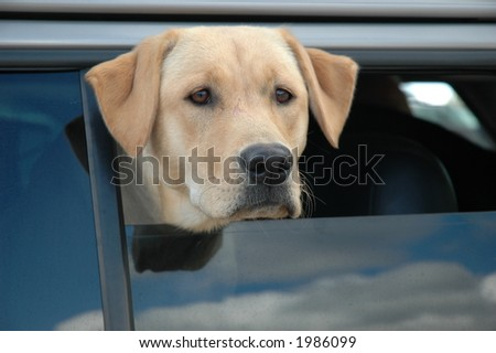 Yellow Lab in Car window - stock photo