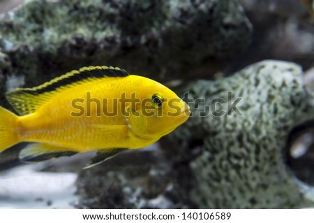 Yellow Lab (Labidochromis) African Cichlid - stock photo