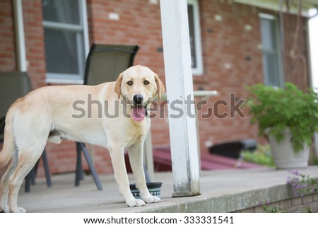Yellow Lab looking at the camera standing on the porch