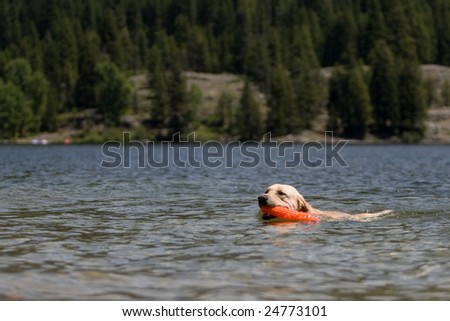 Yellow lab playing fetch in water. - stock photo