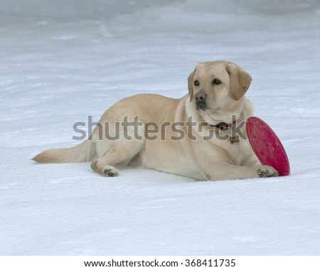 Yellow lab playing with toys in the snow