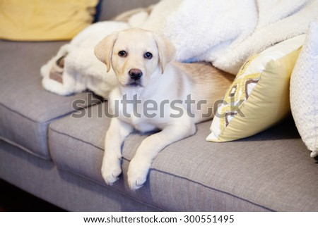yellow lab puppy - stock photo