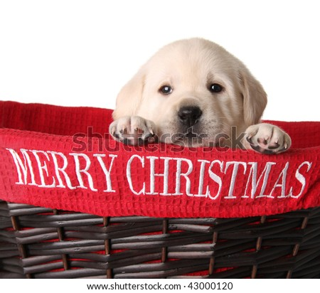 Yellow lab puppy in a Merry Christmas basket. - stock photo