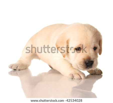 Yellow lab puppy isolated on white, three weeks old.