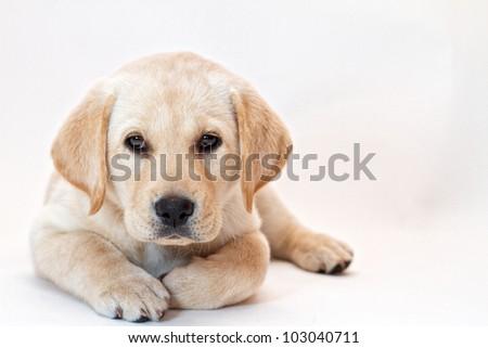 Yellow lab puppy on white background - stock photo