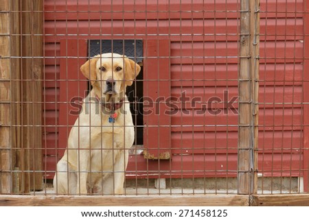 Yellow Lab staring out through the wire of his kennel. - stock photo