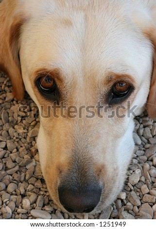 yellow lab with head on ground looking up